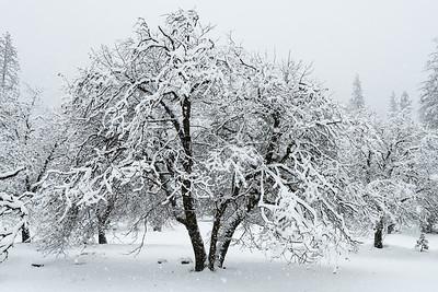 Oaks in Snowstorm