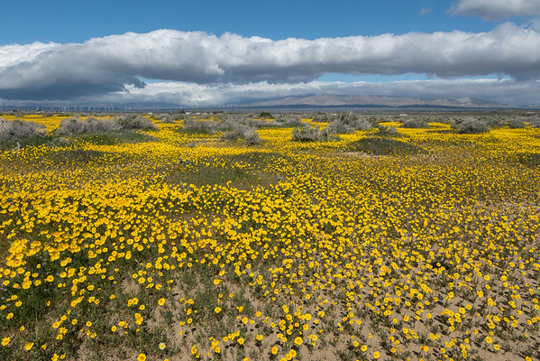 A Meadow of Goldfields,, California