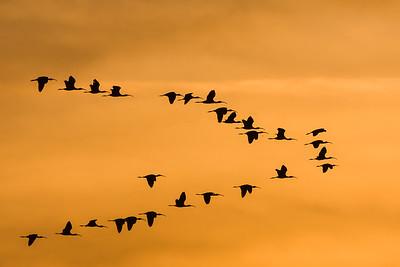 Ibis in flight at sunset, California.