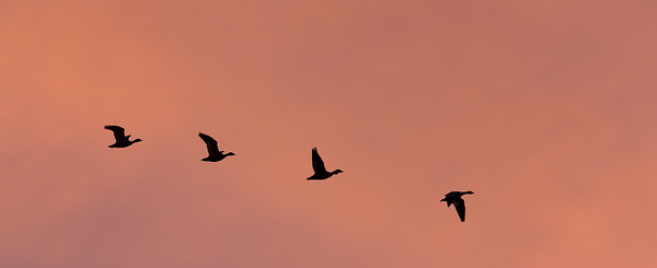 Geese flying at sunset, California.