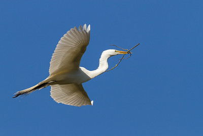 Great Egret flying with branch.