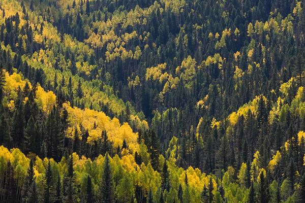 Conifers and Aspen