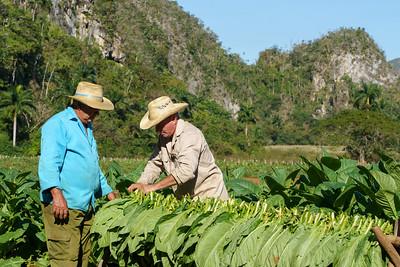 Harvesting Tobacco