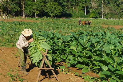 Hanging Tobacco Leaves