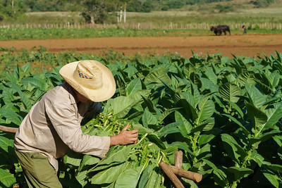 Laying out Tobacco Leaves
