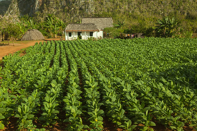 Tobacco Rows and Farmhouse
