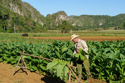 Gathering the Tobacco Leaves