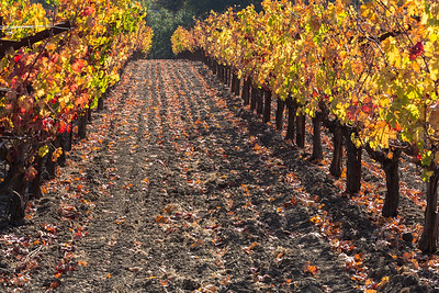 Vineyard Lane in Autumn