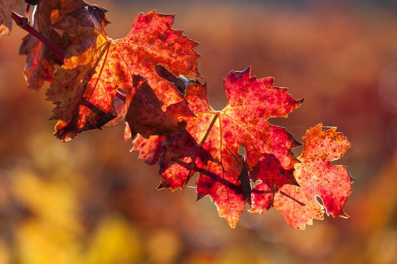 Brilliant Wine Leaves