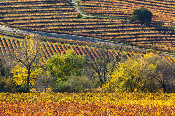 A Patchwork of Autumn Grapevines