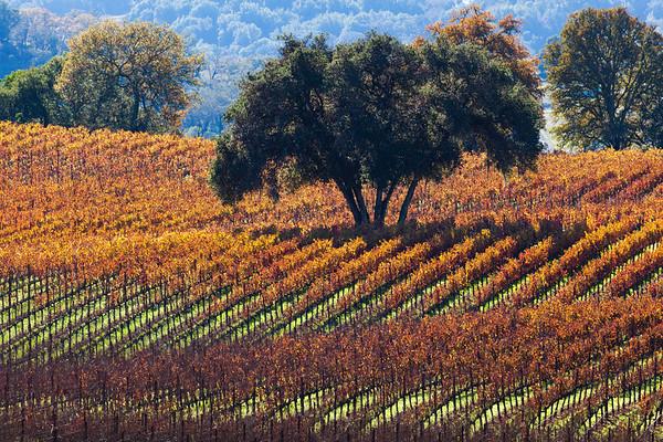 Oak in the Vineyard