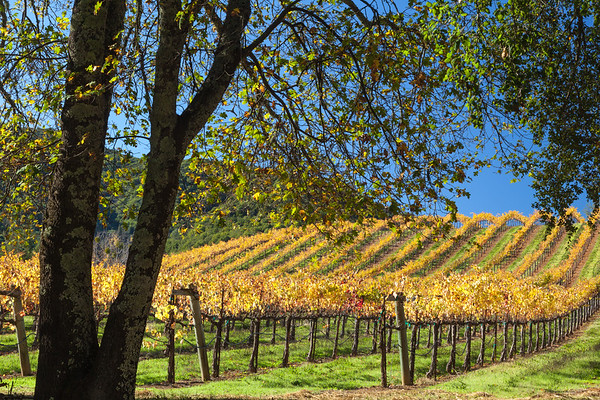 Oaks and Vineyards