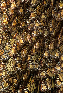 Pattern of Monarch Butterflies
