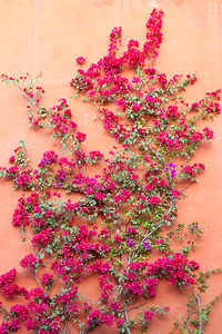Bougainvillea and stucco, Mexico.