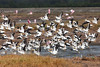 American White Pelicans and Roseate Spoonbills