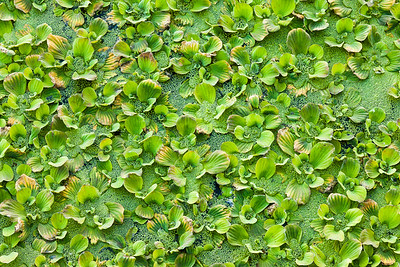Duckweed Pattern