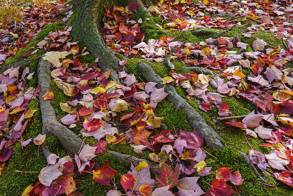 Fallen leaves on tree roots, Maine.