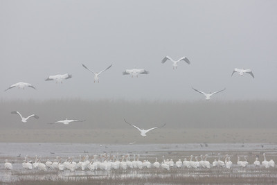 White Pelicans in Fog