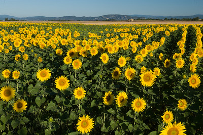Sunflowers, Provence, France.