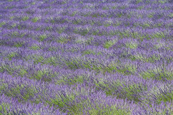 Pattern of lavender plants
