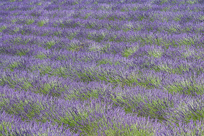 Pattern of lavender plants