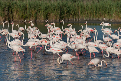 Greater Flamingo, France.