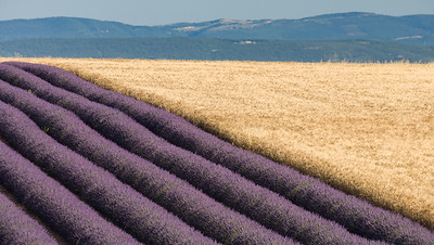 Lavender and Wheat Fields, Provence.