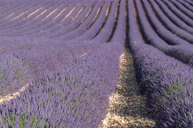 Lavender rows, Provence, France.
