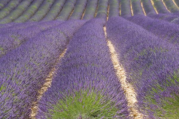 Runaway Lavender, Provence, France.