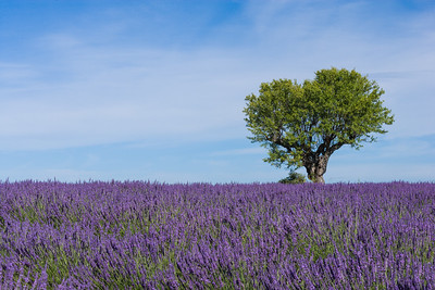 Lavender field and tree, Provence.