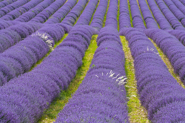 Profusion of Lavender in Bloom, France.