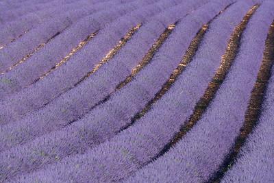 Lavender Galore