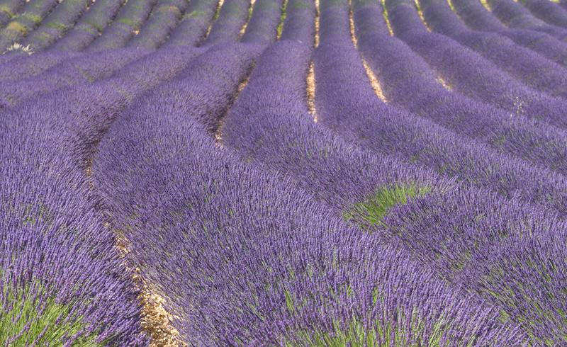 Rows of Lavender, France