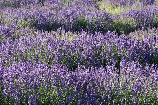 Blooming lavender, Provence.