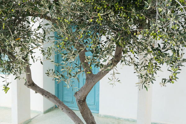 Olive Tree in Courtyard, Santorini.