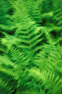 Dreamlike Effect of fresh Spring Ferns.