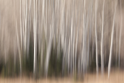 Aspen Trees After the Fall