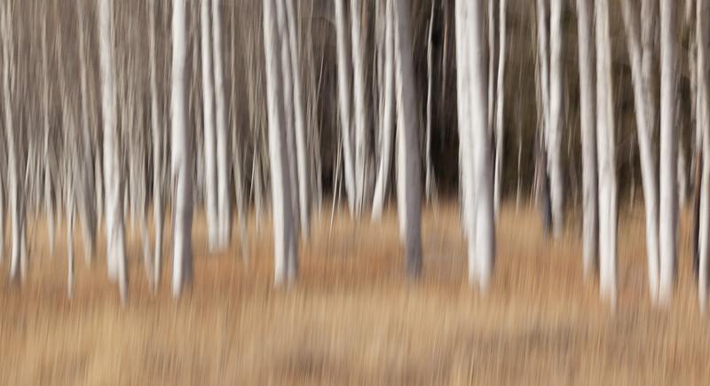 Aspen Grove Impression #1