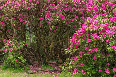 Giant Rhododendron Shrub.