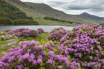 Rhododendron in bloom in Black Valley, western Ireland.