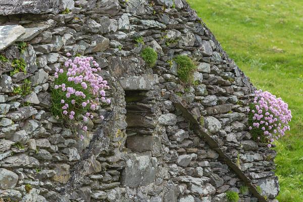 Pink Flowers on stone house wall, Blasket Island, Ireland.