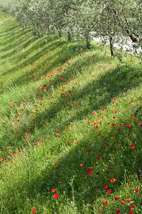 Tree shadows and red poppies, Tuscany, Italy.