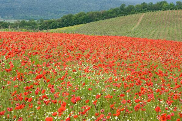 Spring Poppies, Tuscany, Italy.