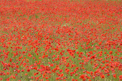 Poppin' Red Poppies
