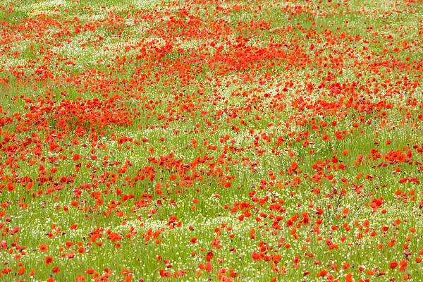 Cheerful Spring Poppies, Tuscany, Italy.