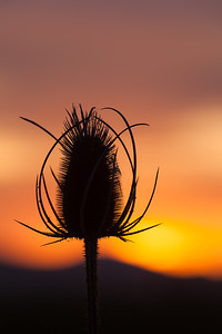 Teasel and Sunset