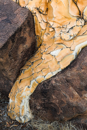 Quiver Tree root, Namibia.