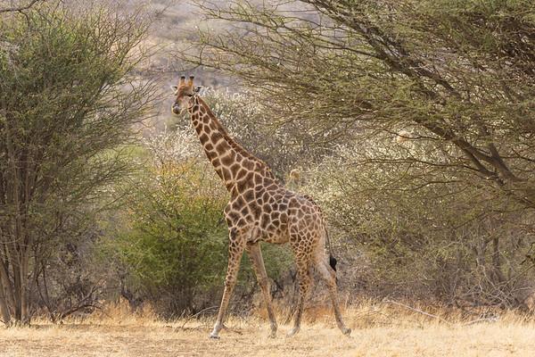 Giraffe in trees, Namibia.