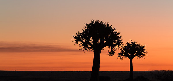 Quiver Trees Silhouetted