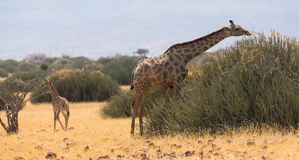 Mother and baby giraffe foraging, Namibia.